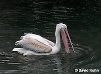 "0727-0806  Eastern White Pelican, Great White Pelican ""Europe, Africa, and Asia"", Pelecanus onocrotalus © David Kuhn/Dwight Kuhn Photography."