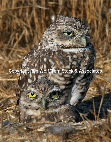 Athene cunicularia, Burrowing Owl, Shoreline Park