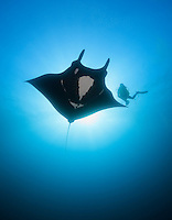 QT2140-D. Manta Ray (Manta birostris) swims next to scuba diver (model released). Baja, Mexico, Pacific Ocean.<br /> Photo Copyright &copy; Brandon Cole. All rights reserved worldwide.  www.brandoncole.com
