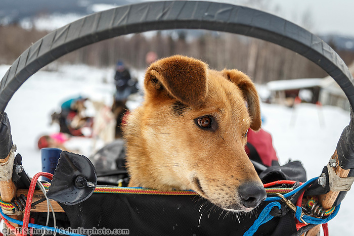 Anna Bertington's dog &quot;Delta&quot; rides in the basket as she arrives at the Takotna checkpoint during Iditarod 2016.  Alaska.  March 09, 2016.  <br /> <br /> Photo by Jeff Schultz (C) 2016  ALL RIGHTS RESERVED