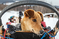 "Anna Bertington's dog ""Delta"" rides in the basket as she arrives at the Takotna checkpoint during Iditarod 2016.  Alaska.  March 09, 2016.  <br /> <br /> Photo by Jeff Schultz (C) 2016  ALL RIGHTS RESERVED"