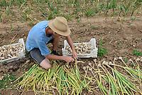 GERMANY Witzenhausen, garlic farming at farm, cultivation of different and old varieties / DEUTSCHLAND, Witzenhausen, Knoblauch Anbau und Ernte bei Gregor Schmitz, Anbau verschiedener und alter Knoblauchsorten
