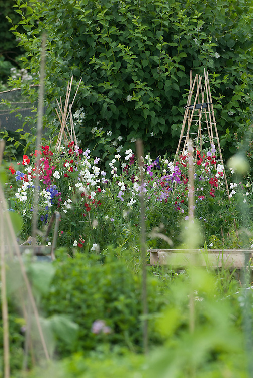Sweet peas on an allotment pot, late June.