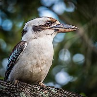 Coolangatta, Queensland Australia. (Tuesday September 23, 2015) –  Kookaburras in our garden. Photo: joliphotos.com