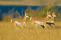 Pronghorn (Antilocapra americana) does running.