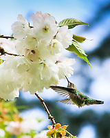 Anna's Hummingbird in flight feeding on cherry blossoms in the Spring with blue sky background