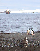 Gentoo penguins on Aitcho Island in the South Shetland Islands near the Antarctic Peninsula.