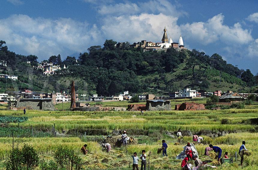 FARMERS harvest rice in the Kathamndu Valley below SWAYAMBUNATH STUPA - KATHAMANDU, NEPAL