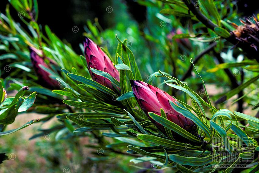 Protea (botanical name proteacae) on island of Maui