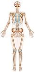 anterior view skeleton