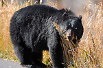 Black Bear Close Portrait, Roosevelt Lodge, Yellowstone National Park, Wyoming