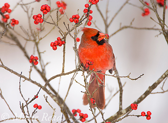 Northern Cardinal (Cardinalis cardinalis) male feeding on winterberry (Ilex sp.) fruits in winter, New York, USA
