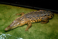 Captive saltwater crocodile with tail missing.