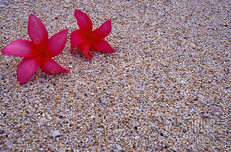 Red plumeria flowers on beach sand background