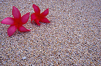 Red plumeria flowers on beach sand background