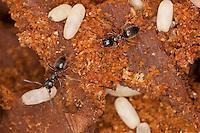 Wegameise, Nest in Totholz mit Eiern, Lasius s.str., Lasius cf. platythorax, Black Ant