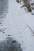 Graureiher, Fußabdrücke eines Graureihers im Schnee und Eis entlang eines zugefrorenen Baches, Grau-Reiher, Fischreiher, Reiher, Ardea cinerea, Grey Heron, Héron cendré