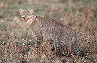 We saw most of Tanzania's felines on this trip. It took a few encounters with the African wildcat before we got even a brief photo opportunity.