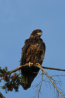 Young Bald Eagle (Haliaeetus leucocephalus) North America Washington state Fir Island