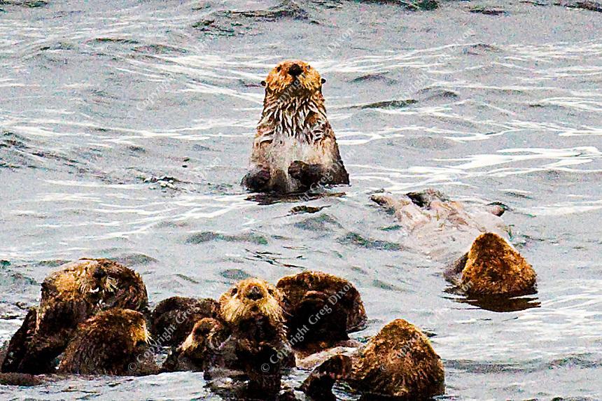Sea otters lounge in Sitka Sound near Sitka, Alaska on 9/2/11