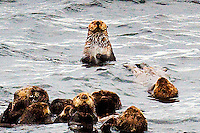 Sea otters lounge in Sitka Sound near Sitka, Alaska on 9/2/11