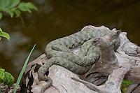 Würfelnatter, Würfel-Natter, Natter, Natrix tessellata, dice snake
