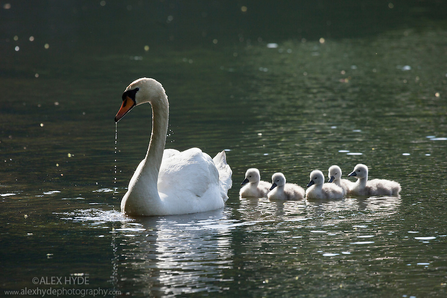 Mute Swan (Cygnus olor) with cygnets, Water-cum-Jolly Dale, Peak District National Park, Derbyhire, UK. May.