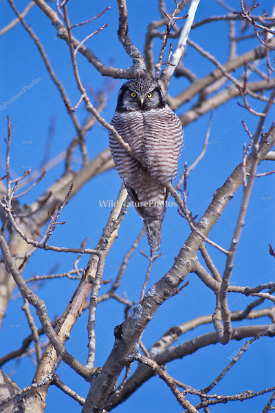 A Northern Hawk Owl searches for food from his perch (Michigan).