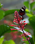 A Doris Longwing perched at the top of a bright red flower with suspended rain drops against a multi-colored green background. The ventral view shows the beauty and grace of this butterfly.
