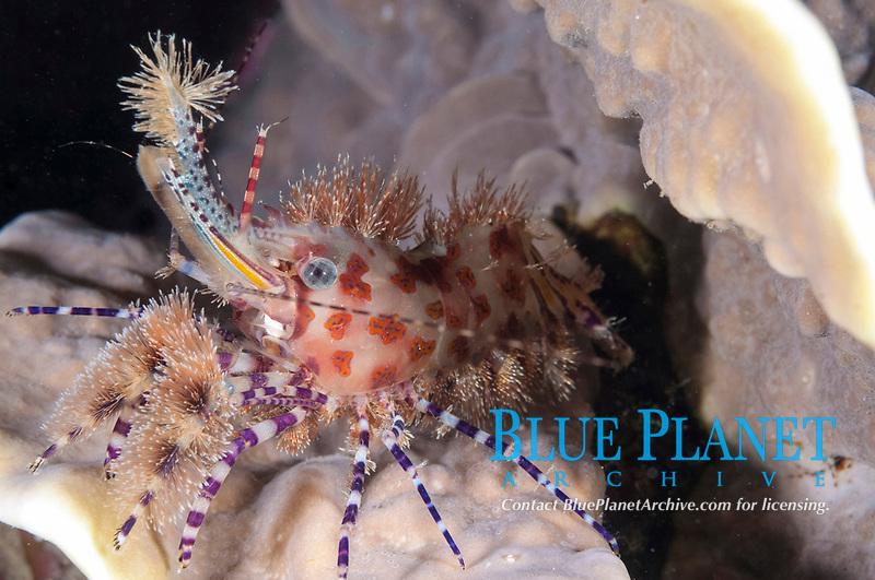Marbled Shrimp, Saron sp, night dive, Village Reef dive site, near Pier, Nusa Laut; Indonesia, Banda Sea, Pacific Ocean
