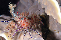 Marbled Shrimp, Saron sp, night dive, Village Reef dive site, near Pier, Nusa Laut; Indonesia, Banda Sea, Pacific Ocean
