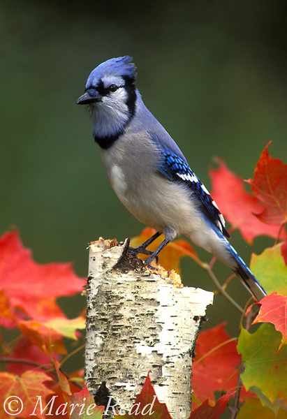 Blue Jay (Cyanocitta cristata) perched amid autumn foliage, New York, USA Slide   B117-31