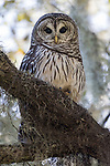 Brazoria County, Damon, Texas; an adult Barred Owl perched on a branch of a large, live oak tree, with indirect morning light