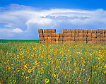 Morgan County, CO<br /> Hay bales in a field of sunflowers under a summer sky
