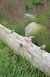 Rocks and log amid flowering grasses, Sierra Nevada, Eldorado National Forest, California