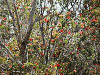 Red 'ohi'a lehua blossoms speckle an 'ohia lehua tree along the Pu'u Wa'awa'a Ahupua'a crater hike, Big Island.