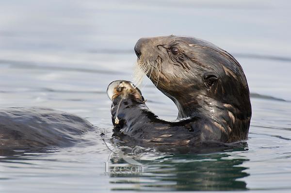 Sea Otter (Enhydra lutris) feeding on clam--first breaks them apart.