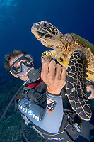 scuba diver watches hawksbill sea turtle, Eretmochelys imbricata, Papette, Tahiti, French Polynesia, Pacific Ocean