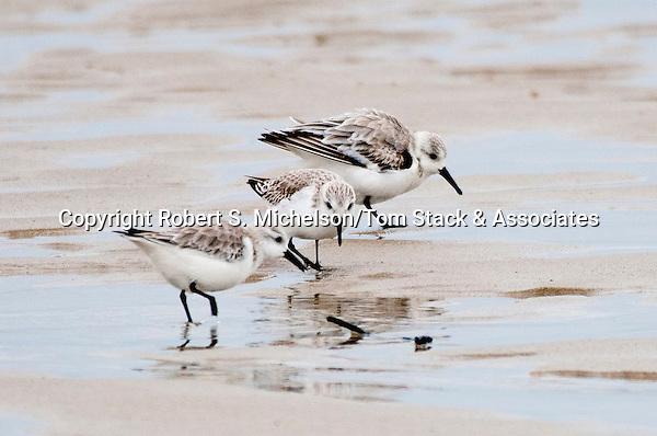 Sanderling 3 shot feeding on sand flat, South Beach, Chatham, Massachusetts