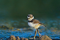 554550002 a wild precocial killdeer chick charadrius vociferous walks along the edge of a small pond in the rio grande valley of south texas