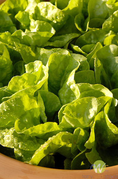 Baby Butterhead lettuce in container