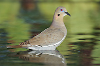 White-winged Dove (Zenaida asiatica), adult standing in water, Dinero, Lake Corpus Christi, South Texas, USA