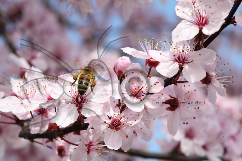 Bee with pollen on a pulm tree flowers.