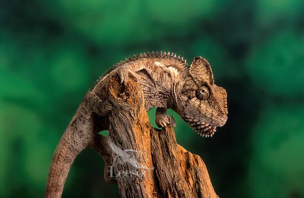 OUSTALET'S CHAMELEON..Native to Madagascar. Captive..(Chamaeleo oustaleti).