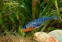 1S31-504z  Male Threespine Stickleback, Mating colors showing bright red belly and blue eyes, carrying nest material in his mouth, Gasterosteus aculeatus,  Hotel Lake British Columbia..