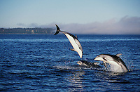 nb94. Pacific White-sided Dolphins (Lagenorhynchus obliquidens) leaping. British Columbia, Canada, Pacific Ocean..Photo Copyright © Brandon Cole.  All rights reserved worldwide.  www.brandoncole.com..This photo is NOT free. It is NOT in the public domain...Rights to reproduction of photograph granted only upon payment of invoice in full.  Any use whatsoever prior to such payment will be considered an infringement of copyright...Brandon Cole.Marine Photography.http://www.brandoncole.com.email: brandoncole@msn.com.4917 N. Boeing Rd..Spokane Valley, WA 99206   USA..tel: 509-535-3489