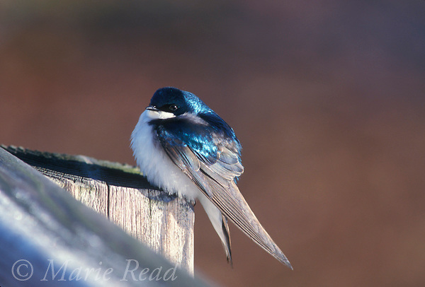 Tree Swallow (Tachycineta bicolor) adult with fluffed feathers on a cold morning in early spring, Ithaca NY<br /> Slide # B114-316