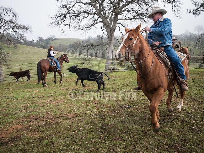 Cattle branding, doctoring, marking at the Yeagar Corral, Pardee Reservoir, Amador County, California with the Dell'Orto Ranch.