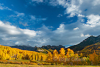 Aspens, Populus Tremula, Cimarron Ridge, Precipice Peak, Uncompahgre National Forest, Colorado
