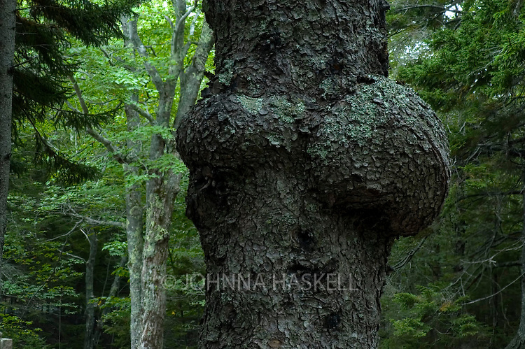 Giant tree burl growing in Acadia National Park on the carriage roads.
